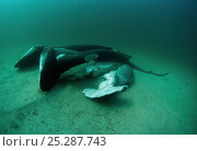 Купить «Scalloped Hammerhead Sharks (Sphyna lewini) finned alive and thrown overboard. Costa Rica, Pacific Ocean.», фото № 25287743, снято 24 сентября 2018 г. (c) Nature Picture Library / Фотобанк Лори
