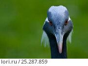 Demoiselle crane (Anthropoides virgo) portrait, captive. Стоковое фото, фотограф Edwin Giesbers / Nature Picture Library / Фотобанк Лори