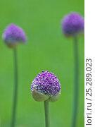 Купить «Allium (Allium giganteum) about to flower, Germany, June», фото № 25289023, снято 20 октября 2019 г. (c) Nature Picture Library / Фотобанк Лори