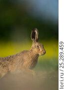 Купить «European brown hare (Lepus europaeus) adult emerging from field of rapeseed, Hope Farm RSPB reserve, Cambridgeshire, UK, May», фото № 25289459, снято 18 декабря 2017 г. (c) Nature Picture Library / Фотобанк Лори