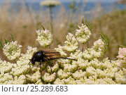 Купить «Bumblee scarab beetle (Eulasia vittata) feeding from Wild carrot / Queen Anne's lace (Daucus carota) flowers growing on the coast, with the sea in the background, Lesbos (Lesvos), Greece, June.», фото № 25289683, снято 6 июля 2020 г. (c) Nature Picture Library / Фотобанк Лори