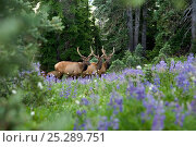 Купить «Elk (Cervus canadensis) grazing in meadow along the High Divide in Olympic National Park, Washington, USA, July 2009», фото № 25289751, снято 23 мая 2018 г. (c) Nature Picture Library / Фотобанк Лори