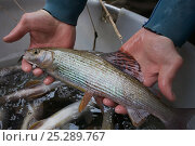 Купить «Fish biologists holding a Grayling (Thymallus thymallus) needed for artificial insemination and breeding. River Pielach, southwest of Munich, Bavaria, Germany, March.», фото № 25289767, снято 17 августа 2018 г. (c) Nature Picture Library / Фотобанк Лори