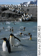 Купить «King penguins (Aptenodytes patagonicus) crossing water to reach breeding site, South Georgia. Taken on location for BBC Frozen Planet series, 2008», фото № 25290403, снято 26 марта 2019 г. (c) Nature Picture Library / Фотобанк Лори