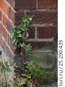 Купить «Smooth Sow-Thistle (Sonchus oleraceus) growing up wall. UK, April.», фото № 25290439, снято 23 мая 2018 г. (c) Nature Picture Library / Фотобанк Лори