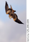 Купить «Red kite (Milvus milvus) in swooping dive, Gigrin Farm, Mid Wales, UK, March.», фото № 25290699, снято 25 марта 2019 г. (c) Nature Picture Library / Фотобанк Лори