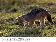 Купить «Black backed jackal pup (Canis mesomelas) searching through grass, Masai Mara National Reserve, Kenya», фото № 25290827, снято 13 июля 2020 г. (c) Nature Picture Library / Фотобанк Лори