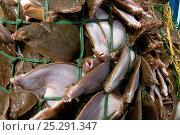 Купить «Yellowtail flounder (Limanda ferruginea) caught in an overflowing dragger fishing net. Stellwagon Bank, New England, USA, Atlantic Ocean, October 2009», фото № 25291347, снято 21 августа 2018 г. (c) Nature Picture Library / Фотобанк Лори
