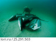 Купить «Diver examining sharks finned alive and thrown overboard. Costa Rica, Pacific Ocean. Model released.», фото № 25291503, снято 24 сентября 2018 г. (c) Nature Picture Library / Фотобанк Лори