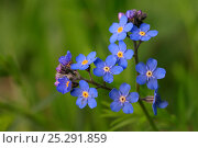 Купить «Alpine Forget-me-not (Myosotis asiatica) in flower. Tatra Mountains National Park, the Carpathians, Poland, June.», фото № 25291859, снято 17 августа 2018 г. (c) Nature Picture Library / Фотобанк Лори