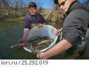 Купить «Fish biologists returning caught Grayling (Thymallus thymallus) for artificial insemination and breeding. River Pielach, southwest of Munich, Bavaria, Germany, March.», фото № 25292019, снято 27 мая 2018 г. (c) Nature Picture Library / Фотобанк Лори