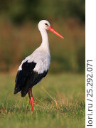 Купить «White Stork (Ciconia ciconia) in profile. Biebrza Marshes, Biebrza National Park, Poland, July.», фото № 25292071, снято 16 февраля 2019 г. (c) Nature Picture Library / Фотобанк Лори