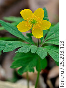 Купить «Yellow Wood Anemone / Buttercup anemone (Anemone ranunculoides) in flower. Luxembourg, April.», фото № 25293123, снято 22 июля 2018 г. (c) Nature Picture Library / Фотобанк Лори