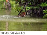 Купить «Proboscis Monkey (Nasalis larvatus) juvenile pulling itself out of the water having swam across a river to reach a new feeding area. Bako National Park, Sarawak, Borneo, Malaysia, April.», фото № 25293171, снято 5 июля 2020 г. (c) Nature Picture Library / Фотобанк Лори