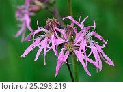 Купить «Ragged Robin (Silene flos-cuculi) in flower. Belgium, May.», фото № 25293219, снято 25 марта 2019 г. (c) Nature Picture Library / Фотобанк Лори