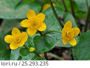 Купить «Kingcup / Marsh Marigold (Caltha palustris) in flower. Luxembourg, April.», фото № 25293235, снято 27 апреля 2018 г. (c) Nature Picture Library / Фотобанк Лори