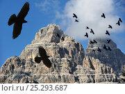 Купить «Alpine Chough / Yellow-billed Chough (Pyrrhocorax graculus) flock in flight against mountains, Dolomites, Italy. Digital composite.», фото № 25293687, снято 26 марта 2019 г. (c) Nature Picture Library / Фотобанк Лори