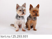 Yorkshire terrier and Yorkshire / Maltese crossbred sitting next to each other. Стоковое фото, фотограф Petra Wegner / Nature Picture Library / Фотобанк Лори