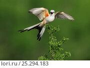 Купить «Scissor-tailed Flycatcher (Tyrannus forficatus), adult female singing on perch. Laredo, Webb County, South Texas, USA, April.», фото № 25294183, снято 17 августа 2018 г. (c) Nature Picture Library / Фотобанк Лори