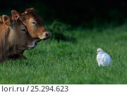 Купить «Western Cattle Egret (Bubulcus ibis) in a field by domestic cattle. River Allier, France, May.», фото № 25294623, снято 25 апреля 2019 г. (c) Nature Picture Library / Фотобанк Лори