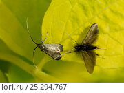 Купить «Male Green fairy longhorn moth (Adela viridella / Adela reaumurella) courts female, vibrating his long antennae as he approaches her on Mock orange leaf...», фото № 25294767, снято 16 октября 2018 г. (c) Nature Picture Library / Фотобанк Лори