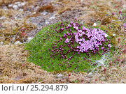 Купить «Moss campion (Silene acaulis) in flower.  Krossfjord, Svalbard, July.», фото № 25294879, снято 22 августа 2018 г. (c) Nature Picture Library / Фотобанк Лори