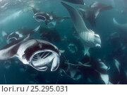 Купить «Reef manta rays (Manta alfredi formerly Manta birostris) vortex / cyclone feeding on plankton, Hanifaru Bay, Hanifaru Lagoon, Baa Atoll, Maldives, Indian Ocean, October», фото № 25295031, снято 11 декабря 2017 г. (c) Nature Picture Library / Фотобанк Лори