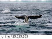 Купить «A Narwhal (Monodon monoceros) tail above the sea surface. Baffin Island, Nunavut, Canada, June.», фото № 25295535, снято 26 апреля 2019 г. (c) Nature Picture Library / Фотобанк Лори