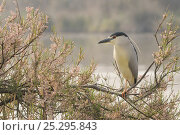 Купить «Black-crowned night heron (Nycticorax nycticorax) perched in tree, Camargue, France, April», фото № 25295843, снято 18 января 2020 г. (c) Nature Picture Library / Фотобанк Лори