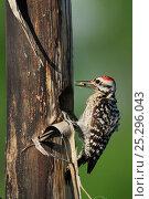 Купить «Ladder-backed Woodpecker (Picoides scalaris), male building nesting cavity in Agave, Century Plant (Agavaceae). Laredo, Webb County, South Texas, USA, April.», фото № 25296043, снято 19 августа 2018 г. (c) Nature Picture Library / Фотобанк Лори