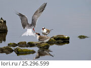 Купить «Adult Common Tern (Sterna hirundo) hovering over its chicks, one of which has taken a small fish from the adult. Noirmoitier Island, French Atlantic Coast, July.», фото № 25296599, снято 25 марта 2019 г. (c) Nature Picture Library / Фотобанк Лори