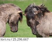 Купить «Konik horses (Equus caballus) -  two wild Konik breeding stallions assessing one another, Millingerwaard nature reserve, Netherlands, April», фото № 25296667, снято 27 мая 2018 г. (c) Nature Picture Library / Фотобанк Лори