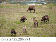 Herd of Chamois (Rupicapra rupicapra) grazing. Gran Paradiso National Park, Alps, Italy, April. Стоковое фото, фотограф Inaki Relanzon / Nature Picture Library / Фотобанк Лори