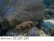 Купить «Balloonfish (Diodon holocanthus) beside fan coral, Coral Reef Island, Belize Barrier Reef, Belize», фото № 25297247, снято 25 марта 2019 г. (c) Nature Picture Library / Фотобанк Лори