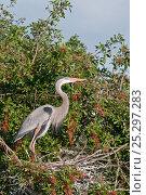 Купить «Great Blue Heron (Ardea herodias) at the nest in profile. Venice Rookery, Florida, USA, January.», фото № 25297283, снято 23 марта 2019 г. (c) Nature Picture Library / Фотобанк Лори
