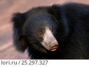 Купить «Portrait of a young adult male Sloth Bear (Melursus ursinus). Karnataka, India, March.», фото № 25297327, снято 25 мая 2019 г. (c) Nature Picture Library / Фотобанк Лори