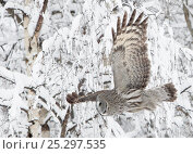 Купить «Great Grey Owl (Strix nebulosa) in flight against snowy branches. Kuusamo, Finland, March.», фото № 25297535, снято 19 июля 2018 г. (c) Nature Picture Library / Фотобанк Лори