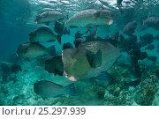Купить «Schooling Bumphead parrotfish (Bolbometopon muricatum) Sipadan, Malaysia.», фото № 25297939, снято 10 июля 2020 г. (c) Nature Picture Library / Фотобанк Лори