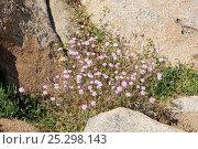 Купить «Rose of Heaven (Silene coeli-rosa) clump flowering among granite boulders. Campomoro Point, near Propriano, Corsica, France, June.», фото № 25298143, снято 25 марта 2019 г. (c) Nature Picture Library / Фотобанк Лори