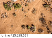 Купить «Aerial of dead giraffe most likely the result of the worst drought (2008-2009) in more than a decade in Northern Kenya. August 2009.», фото № 25298531, снято 23 апреля 2019 г. (c) Nature Picture Library / Фотобанк Лори