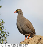 Купить «Red billed francolin (Pternistis adspersus) on rock, Okavango Delta, Botswana, April», фото № 25298647, снято 31 мая 2020 г. (c) Nature Picture Library / Фотобанк Лори