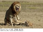 Купить «African lion (Panthera leo) mating pair, Okavango Delta, Botswana, July», фото № 25298823, снято 29 марта 2020 г. (c) Nature Picture Library / Фотобанк Лори