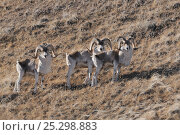 Tien Shan Argali (Ovis ammon karelini). Naryn National Park, Kyrgyzstan, Central Asia, November. Стоковое фото, фотограф Eric Dragesco / Nature Picture Library / Фотобанк Лори