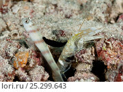 Steinitz' shrimp goby (Amblyeleotris steinitzi) with parasitic nudibranch (Gymnodoris nigricolor) feeding on its dorsal fin, the goby lives in symbiosis... Стоковое фото, фотограф Jurgen Freund / Nature Picture Library / Фотобанк Лори