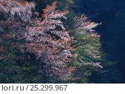 Купить «Wild Cherry tree (Prunus / Cerasus jamasakura) blowing in the wind, Kochi, Japan, March», фото № 25299967, снято 24 сентября 2018 г. (c) Nature Picture Library / Фотобанк Лори