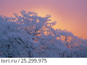 Купить «Japanese Beech (Fagus crenata) in winter with branches covered in hoar frost and reddening sky in the background, Japan», фото № 25299975, снято 26 мая 2020 г. (c) Nature Picture Library / Фотобанк Лори