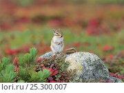 Ezo Chipmunk (Tamias sibiricus lineatus) Mt. Daisetsu, Hokkaido, Japan, September. Стоковое фото, фотограф Nature Production / Nature Picture Library / Фотобанк Лори