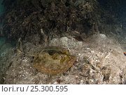 Купить «Yellow Stingray (Urobatis jamaicensis) on seabed, Coral Reef Island, Belize Barrier Reef, Belize», фото № 25300595, снято 25 марта 2019 г. (c) Nature Picture Library / Фотобанк Лори