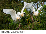 Купить «Eurasian Spoonbill / White Spoonbill (Platalea leucorodia) in courtship display. Balz, India.», фото № 25300631, снято 22 марта 2019 г. (c) Nature Picture Library / Фотобанк Лори