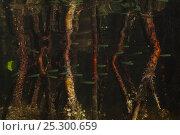 Купить «Red Mangrove (Rhizophora mangle) roots and fish nursery. Punta Allen, Sian Ka'an Biosphere Reserve, Quintana Roo, Yucatan Peninsula, Mexico.», фото № 25300659, снято 25 мая 2020 г. (c) Nature Picture Library / Фотобанк Лори